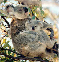 Koalas - difficult to  spot but incredibly cute